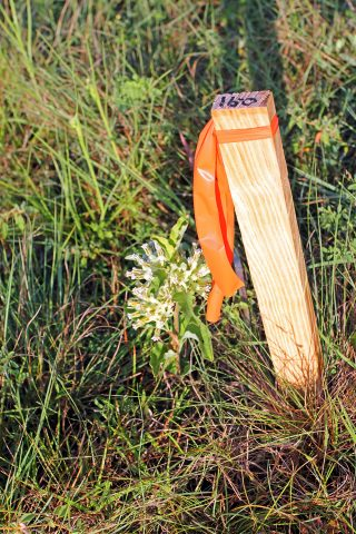 milkweed-stake-1000